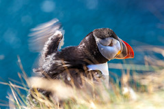 Puffin Takeoff _5087 (hkoons) Tags: latrabjargcliffs westfiords westfjords atlantic iceland latrabjarg bay beach birds cliff feathers fiord fjord flight fly inlet island nest nests north ocean peninsula puffin puffins saltwater sand sea seabirds surf water waves wings