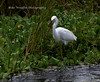 Snowy Egret (Mike Woodfin) Tags: mikewoodfin mikewoodfinphotography photo picture photography photograph photos photoshop pretty park nikon nature canon crusty contrast color country cool fuji florida fl fishing fowl bird birds snowyegret egret white green circlebbarreserve lakeland reserve water waterbird heron beak grass