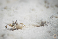 Crab (Cassicorn) Tags: crab destin florida sand carrying hole