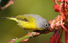 Nashville Warbler (Thy Photography) Tags: nashvillewarbler wildlife warbler sanfrancisco songbird animal fullframe goldengatepark california bird nature outdoor photography depthoffield