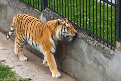 Kaliningrad_Zoo_2011_06_42 (Фото Москвы Moscow-Live.ru) Tags: тигр