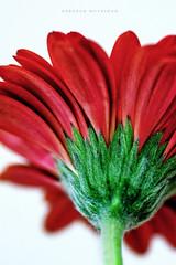 Red (deborahmoynihan) Tags: red flower flowers petals petal lookingup perspective green stem whitebackground blossom bloom flora nikond7200 tamron90mmf28macro macro closeup