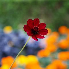 Cosmos atrosanguineus (shinichiro*) Tags: 20161022sdq1375 2016 crazyshin sigmasdquattro sdq sigma1770mmf284dcmacrohsm autumn october yokohama kanagawa japan   flower macro  chocolatecosmos