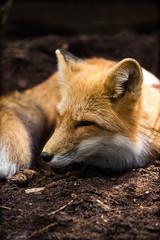 FOX (Regus22) Tags: canon eos tamron 90mm macro fox fuchs germany wildlife sleeping catch animal outdoor