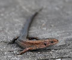 Common Lizard. (julzz2) Tags: britishlizards uklizard uklizards lizard lizards