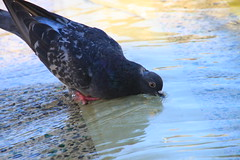 thirsty (Jeanne Menj) Tags: pigeon thirsty assoiff