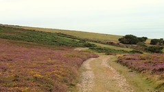Atlantic heath - Exmoor (Pip Sunmas) Tags: bellheather bracken callunavulgaris ericacinerea ericaceae fabaceae heather ling pteridiumaquilinum ulexgallii p8108638a callunoulicetea