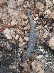 Gecko (orpheusomega) Tags: gecko animal lizard australia nsw northerntablelands newengland