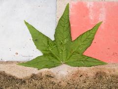 Una hoja de likidambar (Letua) Tags: hoja likidambar verde rosado celeste arena leaf green sand pink lightblue nature naturaleza flora