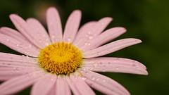 Beautylicious (Pixel Bucket) Tags: closeup daisy gnseblmchen macro makro blume nahaufnahme pflanze plant da35mmf28macrolimited hdpda35mmf28 hdpentaxda35mmf28macrolimited pentax pentaxhdda35mm