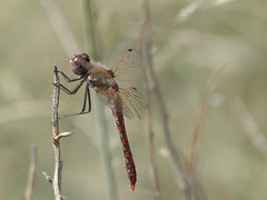Variegated Meadowhawk (Sympetrum corruptum) (WRFred) Tags: nature wildlife dragonfly arizona