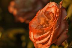Les ultimes roses d'estiu (ancoay) Tags: flors 7dwf ancoay canon600d