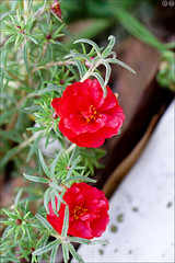 Red (gwennan) Tags: walks nature autumn vacation piran slovenia pirano slovenianistria flower flowers red outdoor