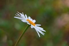 T5i_IMG_3814 (1) (A. Neto) Tags: 700d canon canont5i700d eos t5i tamron tamron18200diiivc color flower nature bokeh plant