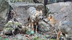 Goudjakhals, Burgers Zoo, Netherlands - 4577