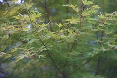 DSC04012 (Old Lenses New Camera) Tags: sony a7r schneider schneiderkreuznach xenon 5cm 50mm f2 plants garden tree leaves japanesemaple