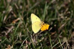 Male Common Sulphur Butterfly Feasting On Cat's Ear Blossom Yet Again 003 - Colias Philodice (Chrisser) Tags: insects insect butterflies butterfly commonsulphur coliasphilodice nature ontario canada canoneosrebelt1i canonef75300mmf456iiiusmlens pieridae