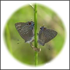 Seeing Double...Banded Hairstreak (Satyrium calanus) (Daisy Mai-ling) Tags: bandedhairstreak banded hairstreak stripes brown spring oak walnut hickory satyriumcalanus mated matedpair male female