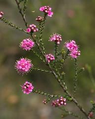 Kunzea (philipbouchard) Tags: kunzea kunzearecurva mountainkunzea curvedleafkunzea myrtaceae shrub flower wildflower pink stamens busselton margaretriver westernaustralia australia