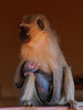 mother care 1 (tdwrsa) Tags: canoneos70d tamronsp150600mmf563divcusda011 mothercare krugerpark satara monkey