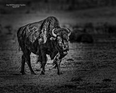 American Bison, Mormon Row,  Jackson Hole Wyoming, Grand Teton National Park (Hawg Wild Photography) Tags: americanbison mormonrow jacksonholewyoming grandtetonnationalpark wildlife nature animal terrygreen nikon nikon600mmvr nikond4s