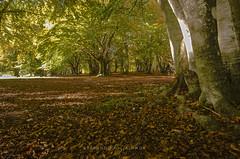 _DSC7486 (stefano.paglialunga1) Tags: provinciamacerata faggeta canfaito nikond7000 natura nikon bosco allaperto autunno foglie fogliedautunno