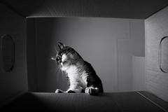 a box view (*Chris van Dolleweerd*) Tags: cat pet feline animal box cardboard wideangle chrisvandolleweerd poes kitty pov strobist