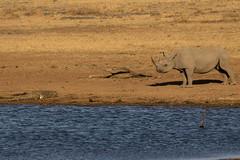 The reason (My Pixelated life) Tags: pilanesberg blackrhino