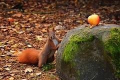 curious squirrel (JoannaRB2009) Tags: squirrel animal apple fruit park nature parkimksiciajzefaponiatowskiego d lodz polska poland autumn fall