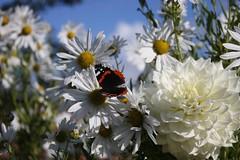 Beauty (goodeez) Tags: beauty blueskies seasons butterflies flora nature england eastmidlands nottinghamshire clumberpark
