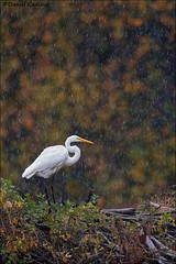 Great Egret in the Rain. (Daniel Cadieux) Tags: egret greategret rain raining wet precipitation fall autumn colours ottawa