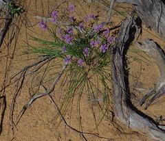 Sowerbaea laxiflora, Depot Hill, near Mingenew, WA, 24/08/16 (Russell Cumming) Tags: plant sowerbaea sowerbaealaxiflora asparagaceae depothill mingenew westernaustralia