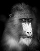 Argus-eyed (Hans Pluim) Tags: mandrill notlookingatcamera mandrilssphinx monkey animal closeup mandril outside netherlands ape nature outdoor powerful europe zoo portrait quivive fixation concentrating eyes careful watch vigilant watchful alert wakeful unwinking arguseyed bw blackandwhite monochrome blackbackground confident confidence individuality simplicity beauty frontview see view look behold seteyeson observe lookat survey witness smallears bignose