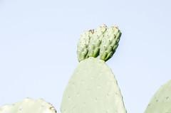 Tre (frammenti di nuvole) Tags: fico dindia cactus pianta nature wild green roma rome italy