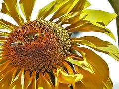 Mid day pollen collection (petermorton42) Tags: burnhamparkbaguio philippines baguio burnhampark sunflower bees