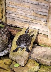 """Now what?!"" (Walkuere123) Tags: paintedturtle zierschildkrte tortugapintada chrysemispicta emydidae allangardenstorontoontario reptile turtle tortuga schildkrte teich pond estanque sonyilca77m2 sigma18300mmf3563contemporarydcmacrooshsm animal wall mauer"