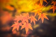 Japanese Maples 5 (frattonparker) Tags: nikond7000 tamron90mmmacro11 raw lightroom6 btonner frattonparker japanesemaple acer autumn fall dof isleofwight