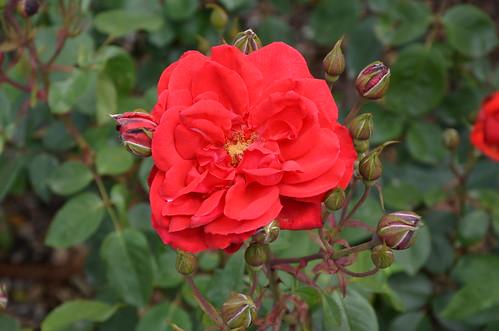 DSC_6010 Red Cavalier rose, Waite Rose Garden, Uni of Adelaide, South Australia
