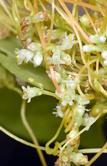 common dodder in bloom (ophis) Tags: solanales cuscutaceae cuscuta cuscutagronovii commondodder dodder parasite