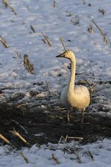 Whooper swan at sunset (tmeallen) Tags: whooper swan cygnus sunset cornstubble snow muddypool dirty feeding standing tsuruivillage hokkaido japan