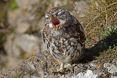 Little Owl  (Athene noctua) (drbut) Tags: littleowl athenenoctua owls strigidae quarry woodland wildlife outdoor nature birdofprey