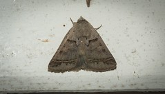 Pantydia sparsa (dustaway) Tags: arthropoda insecta lepidoptera noctuidae catocalinae pantydiasparsa australianmoths australianinsects lismore nature northernrivers nsw australia