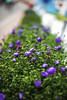 Flower Boxes (WilliamND4) Tags: dof bokeh flowers nikond610 50mm outside purple plant