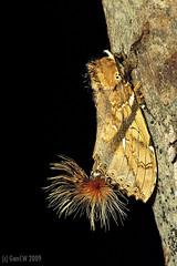 Dudusa vethi, Notodontidea Dudusinae (Green Baron Pro) Tags: 200902 frasershill moth lep jelaibungalow notodontidae malaysia