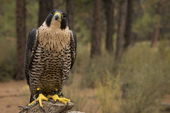 Peregrine (Jon David Nelson) Tags: peregrinefalcon falcoperegrinus falcoperegrinuspealei birdsofprey raptors falcons centraloregon highdesert wildlife education conservation