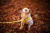 Fallen Leaves (moaan) Tags: kobe hyogo japan jp dog jackrussellterrier kinoko autumn autumnleaves autumncolors fallenleaves bokeh dof utata 2016 leica mp leicamp type240 noctilux 5505mm f10 leicanoctilux50mmf10