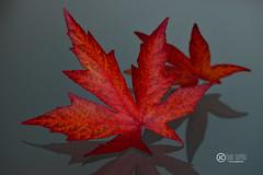 Estrellas de Otoo/Autumn Stars (JCarlos.) Tags: otoo autumn leave hojas rojo macro 105 reflection reflejo
