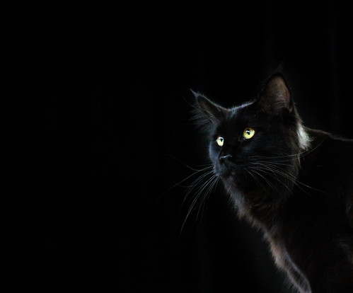 Maine Coon Cat, Black