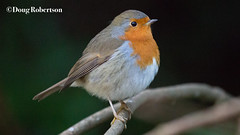 Robin (DougRobertson) Tags: robin nationaltrust nature bird song wildlife