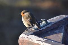 Robin (lizfy30) Tags: robin british bird nature fauna boat cleat nikon d5500 peeling paint dof